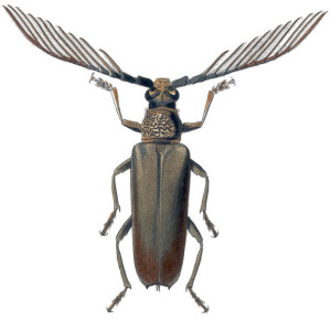 Wallace's Cyriopalus beetle