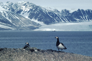 barnacle geese svalbard
